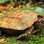 Black Breasted Leaf Turtle