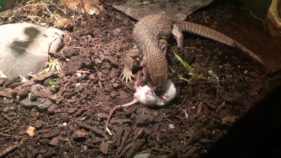 Description: Image result for monitor lizard eating
