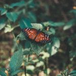 Things to know about the Mazarine Blue Butterfly