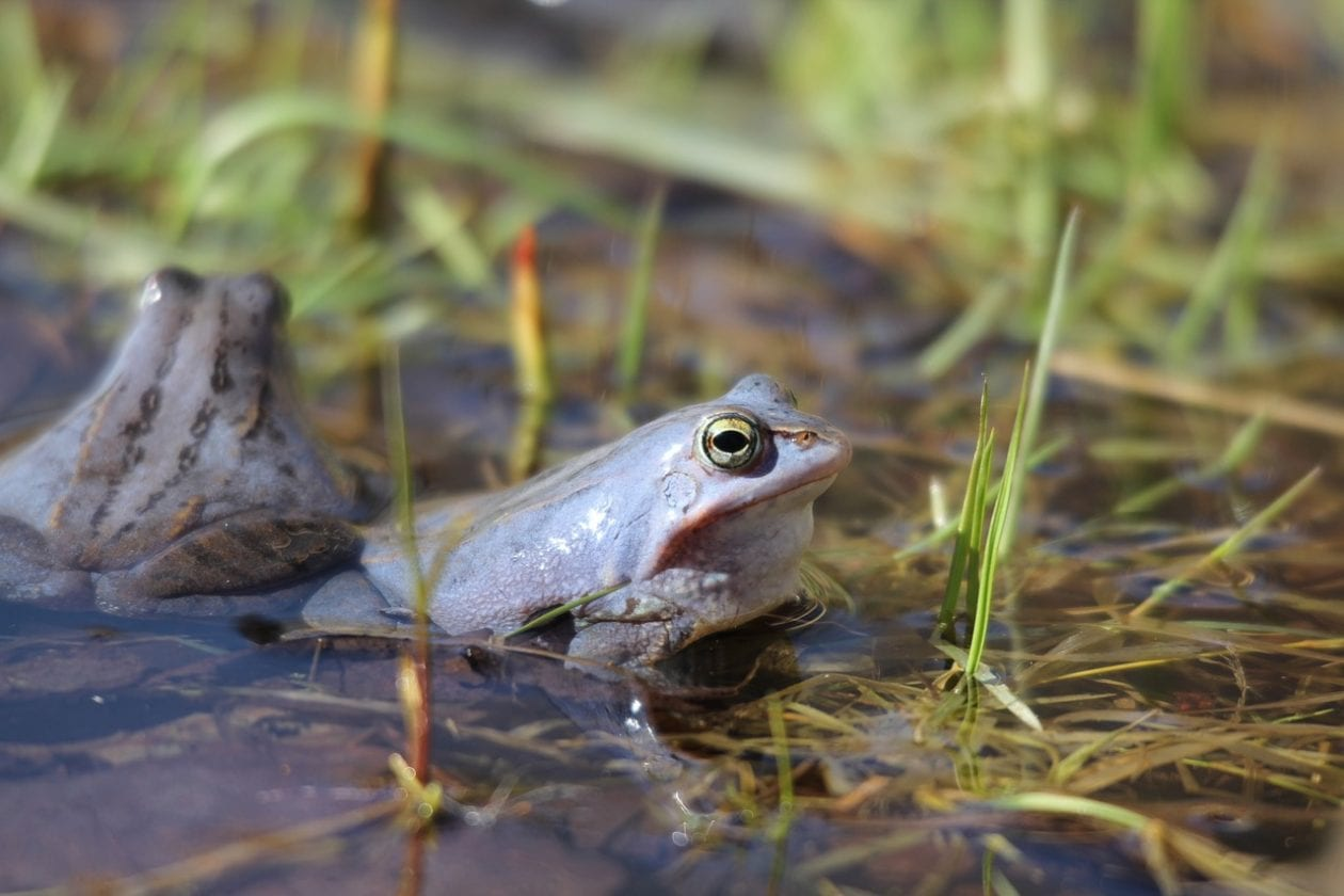 All you need to know about the Moor Frog
