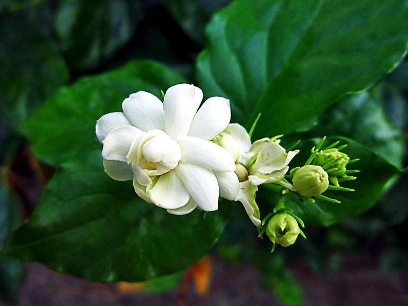 What does a Jasmine Flower Symbolize?