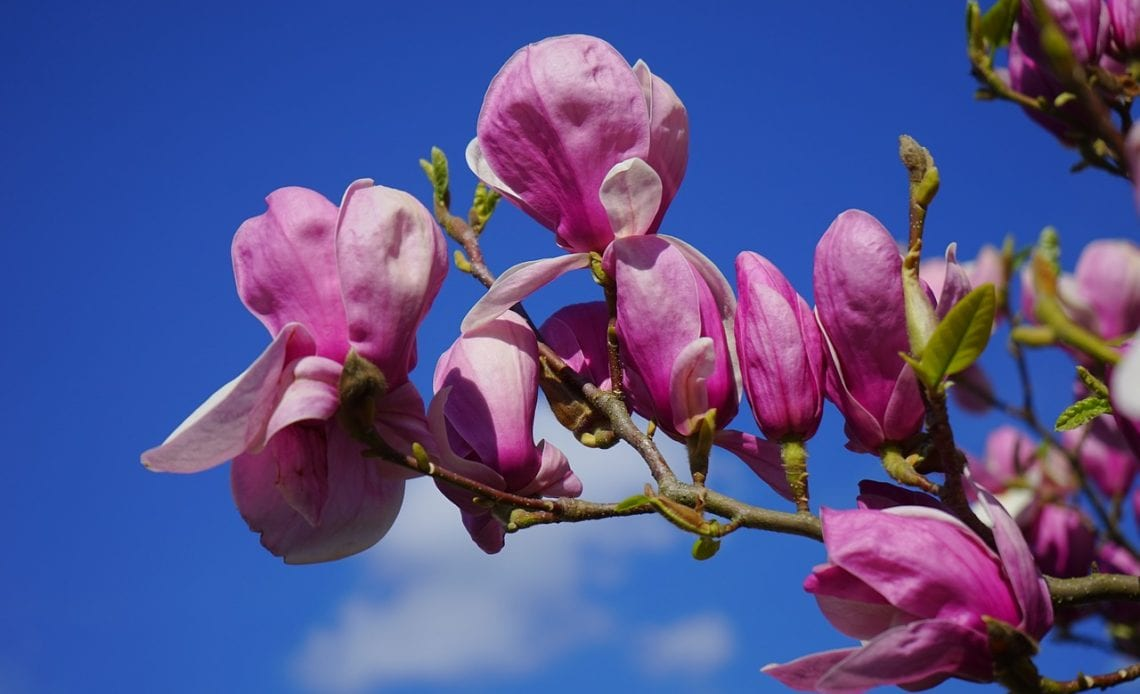Types of magnolia flowers you must know about