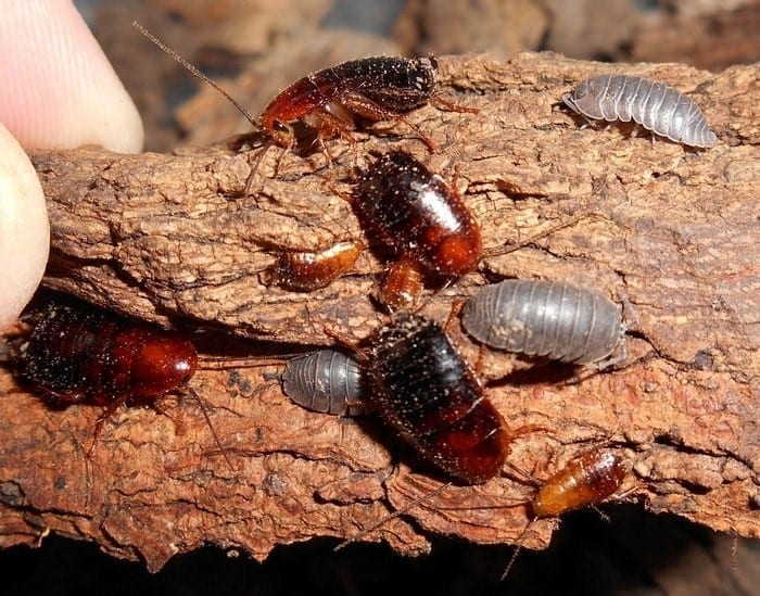 Can Wood Roaches Infest Your House