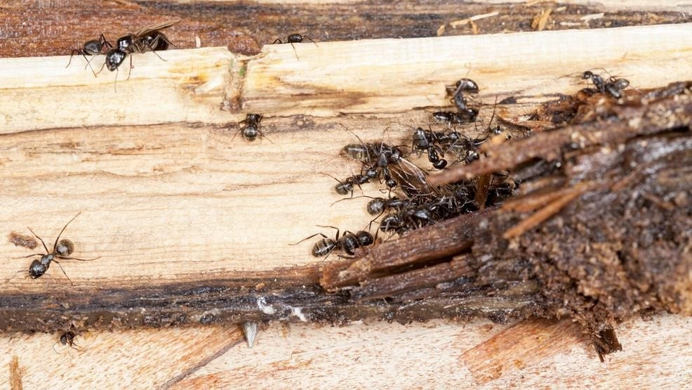 Do Ants Eat Wood