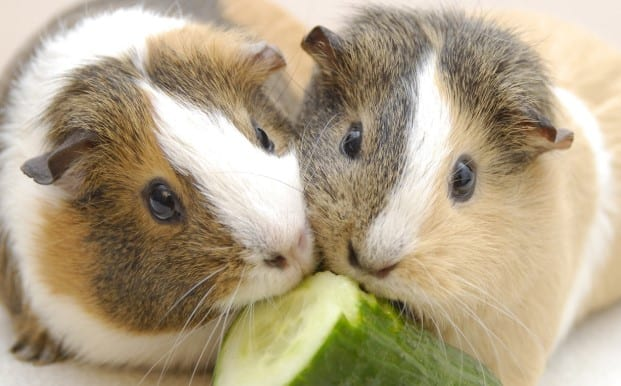 How To Build A Guinea Pig Cage Out Of Wood