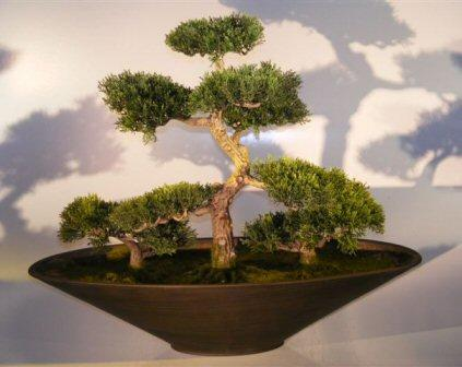 Cedar Bonsai - Group Planting