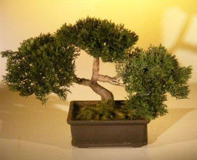 Japanese Cedar Bonsai Tree
