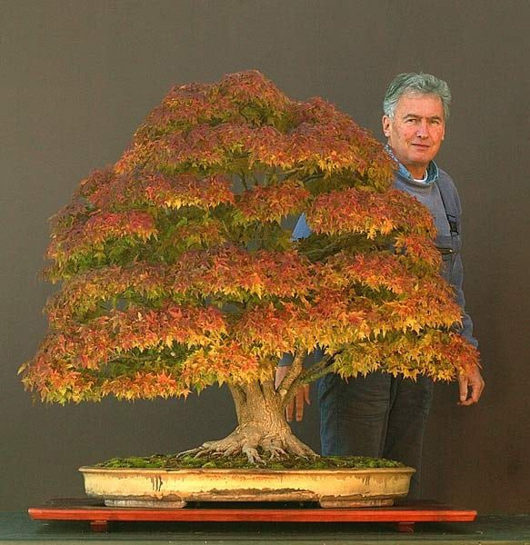 Acer Palmatum Japanese Maple by Walter Pall