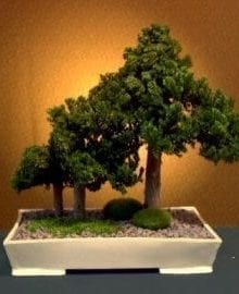 Preserved Juniper Bonsai Tree For Sale - Forest Group Style (Preserved - Not a living tree)