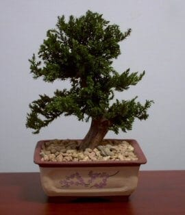 Preserved Juniper Bonsai Tree For Sale #1 - Upright Style Potted in Chinese Bonsai Container (Preserved - Not a living tree)