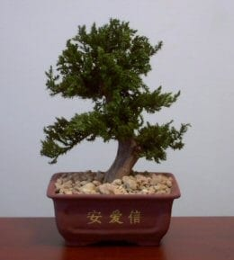 Preserved Juniper Bonsai Tree For Sale #2 - Upright Style Potted in Chinese Bonsai Container (Preserved - Not a living tree)