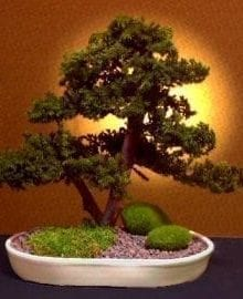 Preserved Juniper Bonsai Tree For Sale - Upright Double Trunk Style (Preserved - Not a living tree)