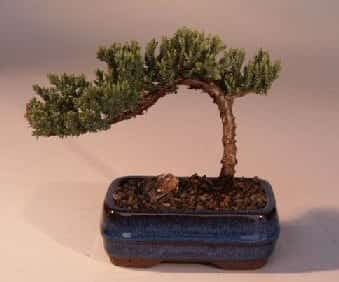 Juniper Bonsai Tree For Sale-Small (Juniper Procumbens nana)