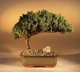 Juniper Bonsai Tree For Sale - Medium (Juniper Procumbens nana)