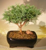 Blue Moss Cypress Bonsai Tree For Sale (Chamecyparis glauca minima)
