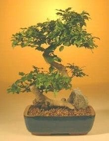 Flowering Ligustrum Bonsai Tree For Sale - Large Curved Trunk Style (ligustrum lucidum)