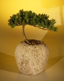 Juniper Bonsai Tree For Sale in a Lava Rock (Juniper Procumbens nana)