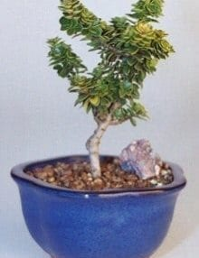 Dwarf Pagoda Holly Bonsai Tree For Sale - Small (Ilex Crenata Pagoda)