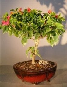 Bougainvillea Bonsai Tree For Sale #1 - Flowering Vine (pink pixie)