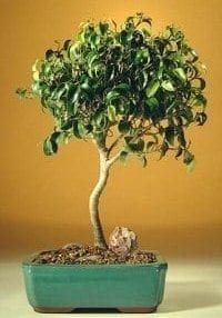 Ficus Oriental Bonsai Tree For Sale - Large (Ficus Orientalis)