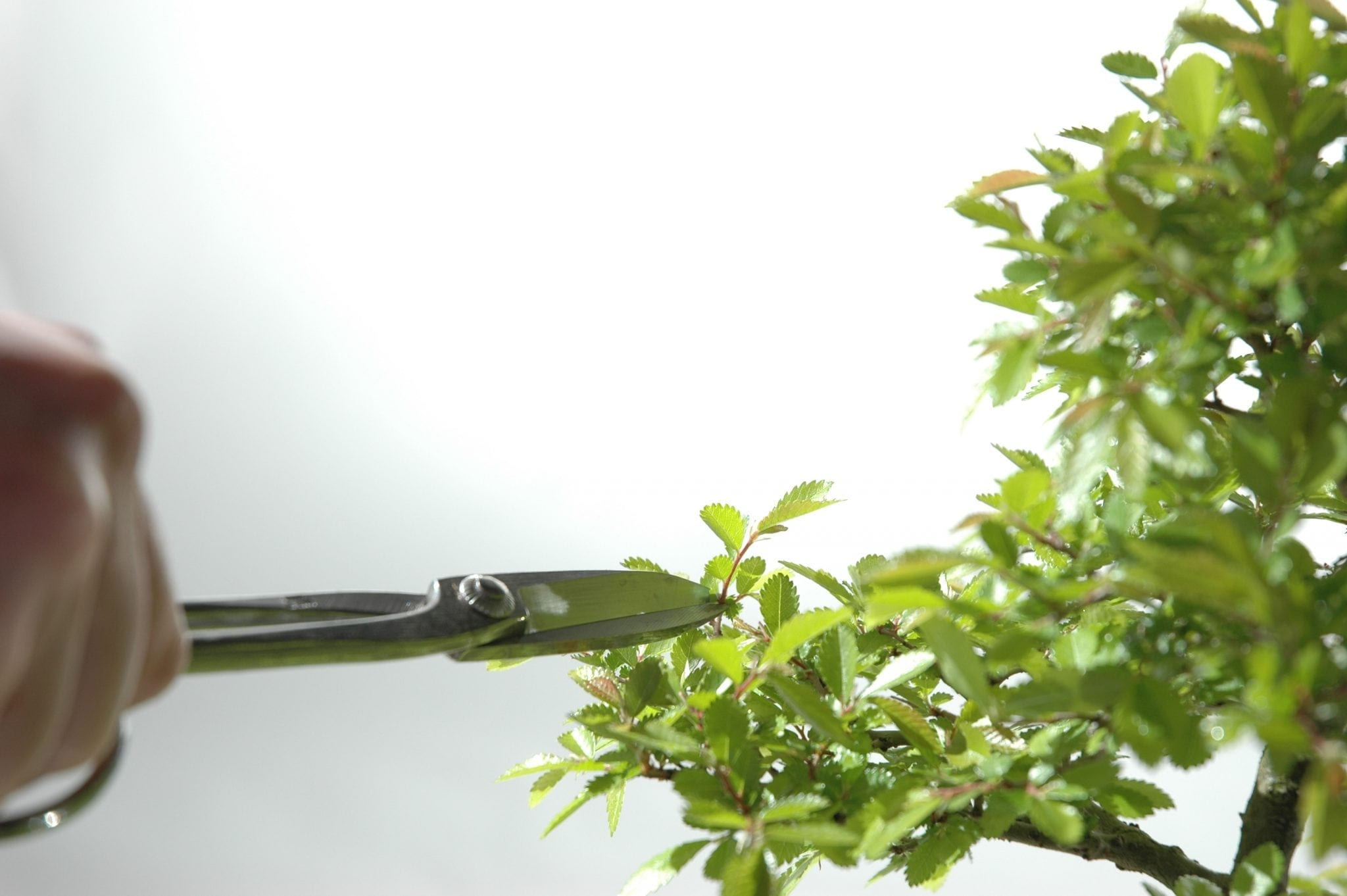 Bonsai Tree Leaf Pruning