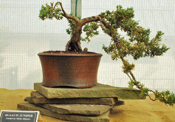 How To Care For Bonsai Trees With Brown Leaves