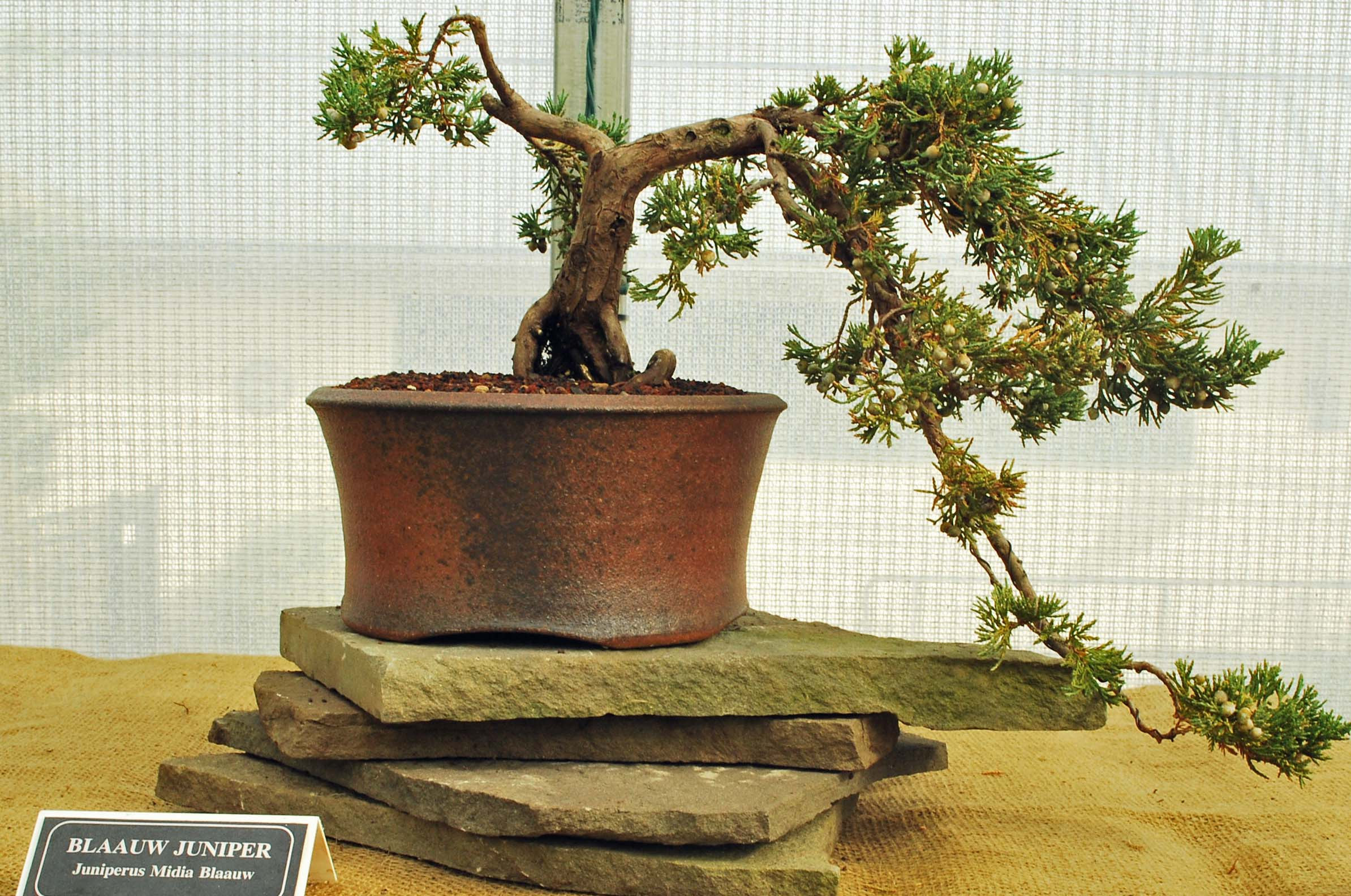 How To Revive A Bonsai Tree With Brown Leaves Bonsai Tree Gardener
