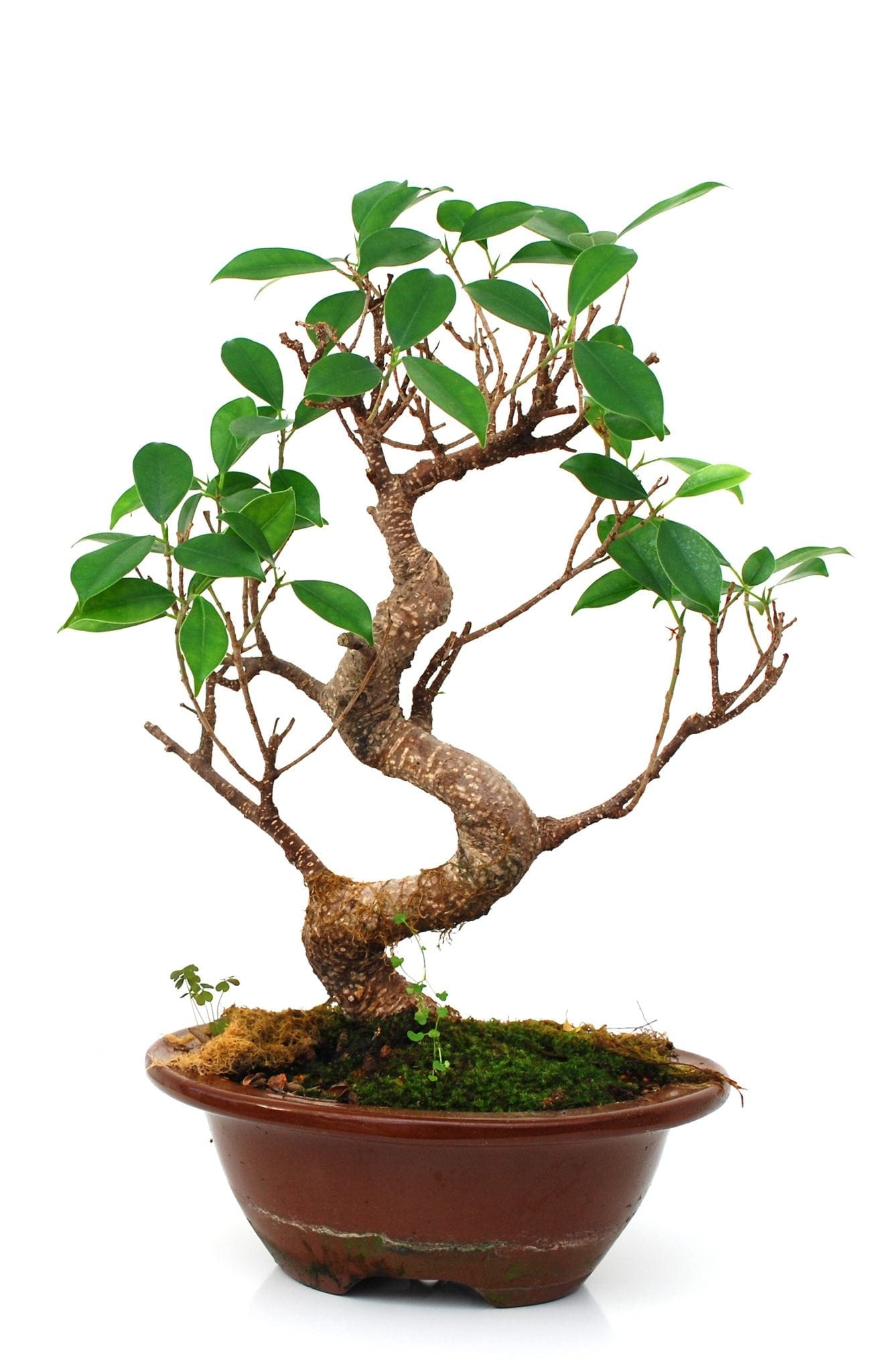 How To Grow Bonsai Trees From Cuttings Bonsai Tree Gardener