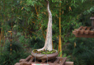 Bonsai Tree Positiong & Location