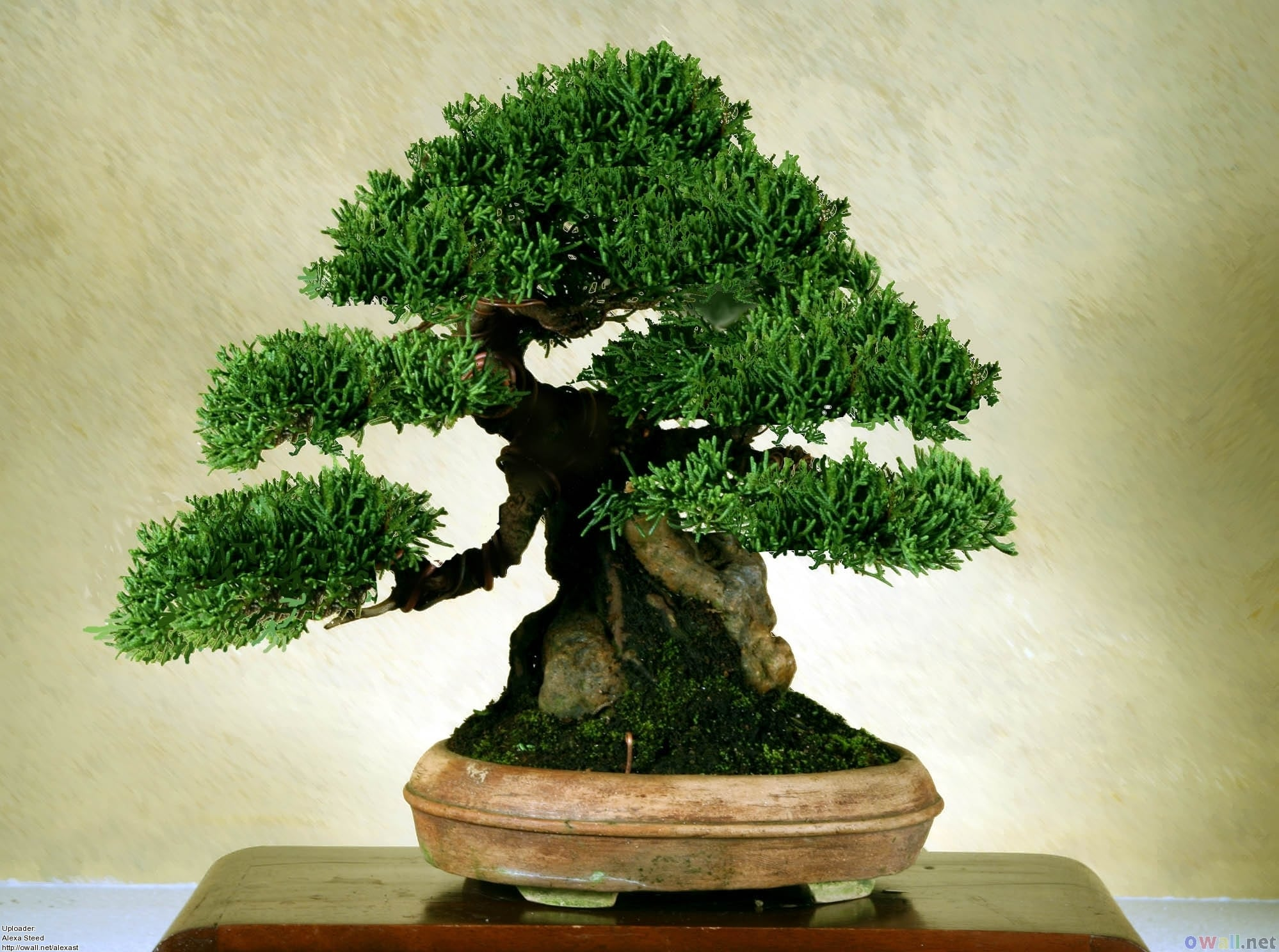 Bonsai Tree Size Classifications Bonsai Tree Gardener