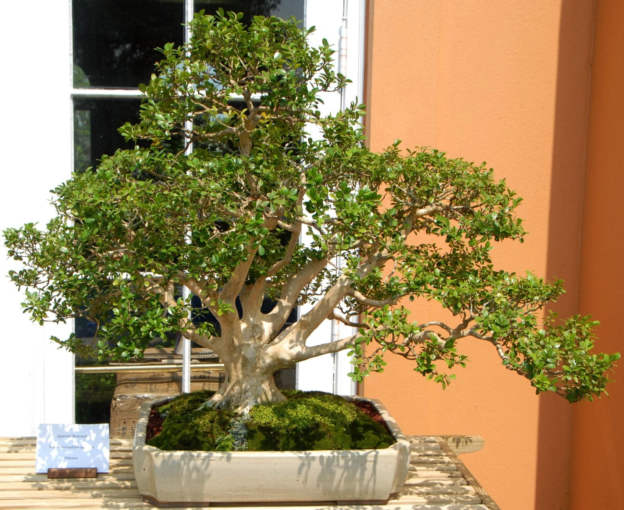 Boxwood Bonsai Tree