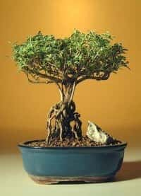 Flowering Mount Fuji Serissa Bonsai Tree For Sale With Raised Roots (serissa foetida)