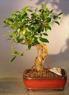 Ficus Retusa Bonsai Tree For Sale - Medium Curved Trunk Style