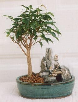 Ficus Bonsai Tree For Sale -Stone Landscape Scene with Fishing Pole (ficus compacta)