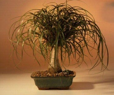 Ponytail Palm Bonsai Tree For Sale - Large (Beaucamea Recurvata)