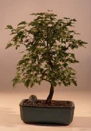 Trident Maple Bonsai Tree For Sale (Acer Buergerianum)