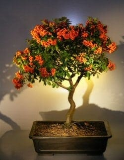 Flowering Pyracantha Bonsai Tree For Sale #2 (pyracantha 'mohave')