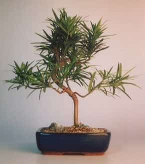 Flowering Podocarpus Bonsai Tree For Sale Styled - Medium (podocarpus macrophyllus)