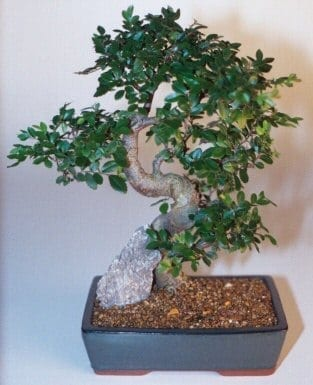 Chinese Elm Bonsai Tree For Sale - Extra Large Curved Trunk Style (Ulmus Parvifolia)