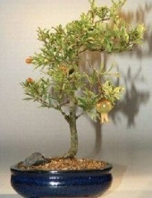 Flowering Dwarf Pomegranate Bonsai Tree For Sale - Medium (Punica Granatum)