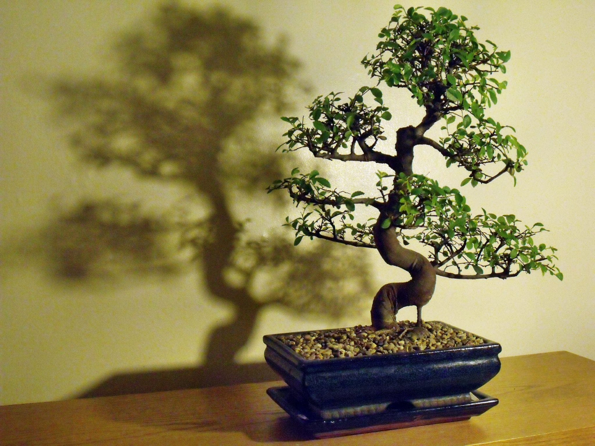 Chinese Elm Bonsai Tree