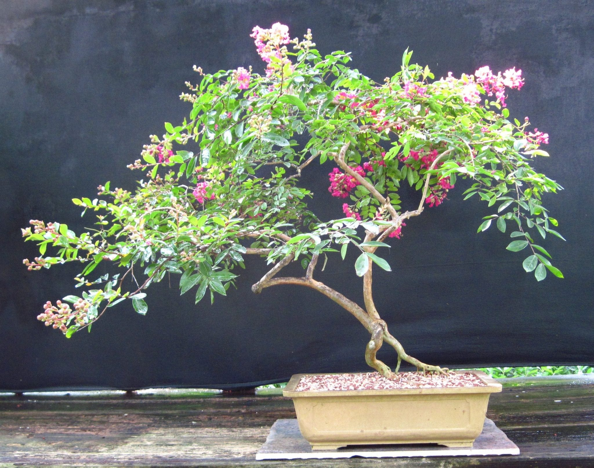 Crepe Myrtle Bonsai Tree