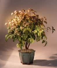 Flowering Heavenly Bamboo Bonsai Tree For Sale (nandina 'firepower')