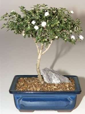 Snow Rose Serissa Bonsai Tree For Sale - Medium (serissa foetida)