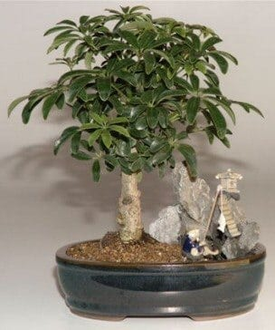 Hawaiian Umbrella Bonsai Tree For Sale Stone Landscape Scene (Arboricola Schefflera 'Luseanne')