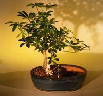 Hawaiian Umbrella Bonsai Tree For Sale Water/Land Container - Medium (arboricola schefflera 'luseanne')