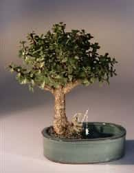 Baby Jade Bonsai Tree For Sale Water/Land Container - Medium (Portulacaria Afra)