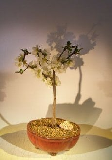 Japanese Flowering Quince Bonsai Tree For Sale (chaenomles 'toyo-nishiki')