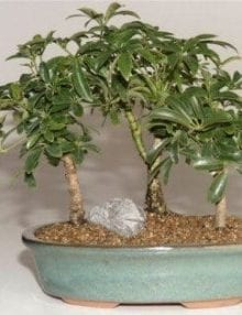 Hawaiian Umbrella Bonsai Tree For Sale 3 Tree Forest Group (Arboricola Schefflera 'Luseanne')