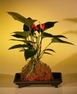 Flowering Red Anthurium In Hawaiian Lava Rock (small talk) Bonsai Tree For Sale (anthurium andraeanum)